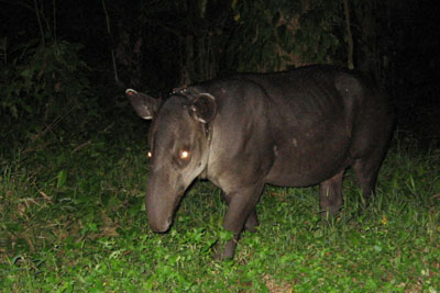 Tapir at Corcovado National Park © by OA:modio